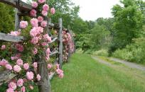 Pink Flowers on fence along a dirt road