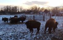Buffalo On a Farm